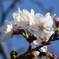 Photos: 桜11
