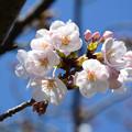 Photos: 桜12