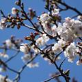 Photos: 桜13