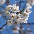 Photos: 桜14