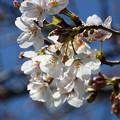 Photos: 桜15