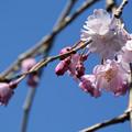 Photos: 桜16