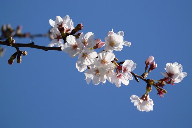 Photos: 桜17