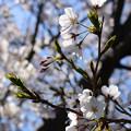 Photos: 桜18