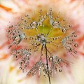 gerbera water drops