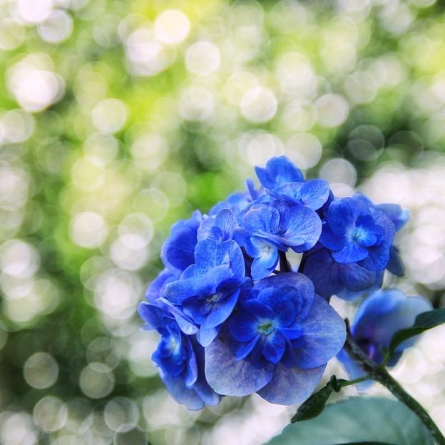木陰に残りし紫陽花