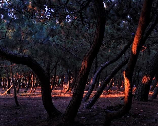 黄昏の陽を受ける松原