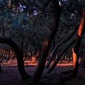 写真: 黄昏の陽を受ける松原