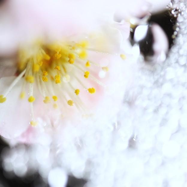 Photos: 梅花の終焉に見たもの・・