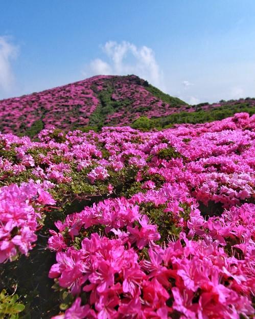 平治岳2020ミヤマキリシマ