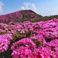 Photos: 平治岳2020ミヤマキリシマ