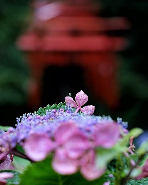 Photos: 紫陽花の記憶