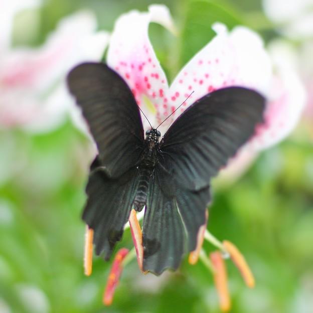 百合より蝶?