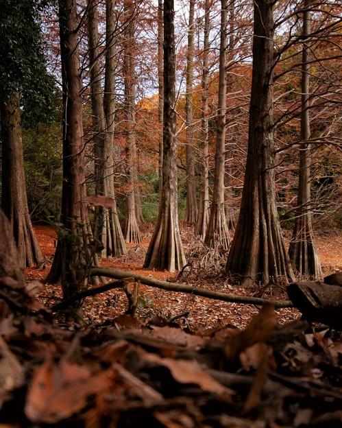 九大の森のラクウショウ