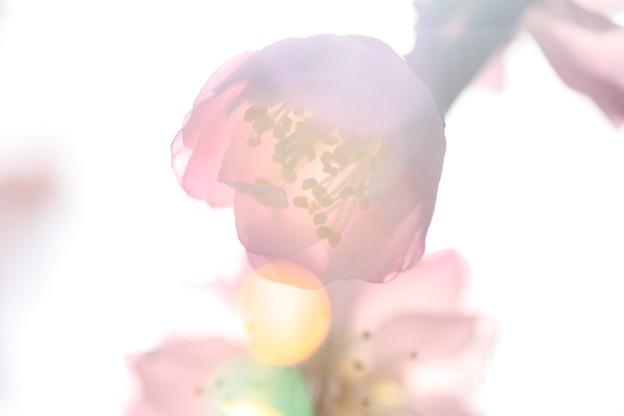 Photos: 梅の夢