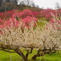 Photos: 「ろうかく梅園の梅の花」