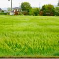 Photos: 「麦穂のダンシング」