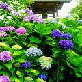 Photos: 「紫陽花と鐘撞堂」