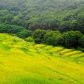 Photos: 「黄金色に輝く棚田」