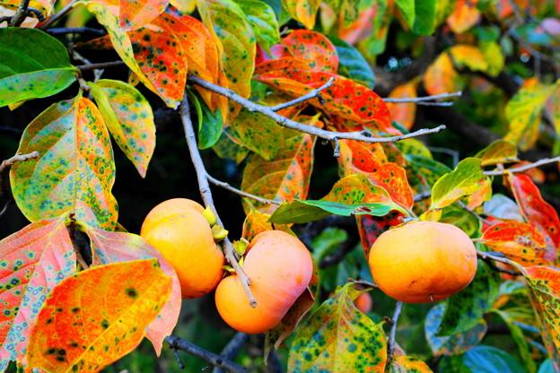 Photos: 「柿の葉アート」