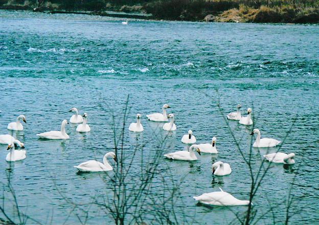 「白鳥の集う場所」