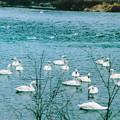 Photos: 「白鳥の集う場所」