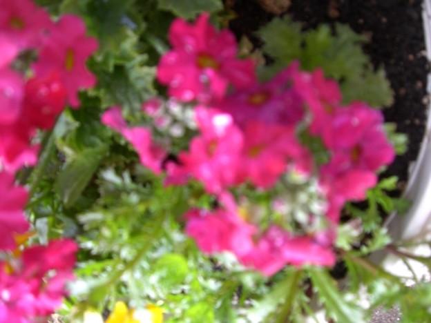 Photos: 花壇に植えて