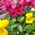 花壇に植えて