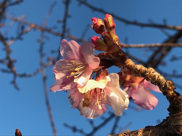 朝の河津桜