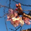 Photos: 朝の河津桜