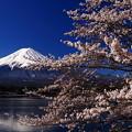 桜満開 華やか富士山