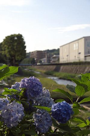 紫陽花 ご近所編 08