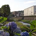 写真: 紫陽花 ご近所編 08