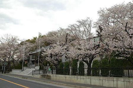 妙法寺の桜 04