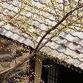 写真: 長谷寺のサンシュユ