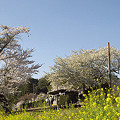 写真: 小湊鉄道の桜 13