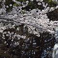 写真: 東戸塚の桜 19