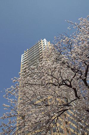 東戸塚の桜 22