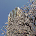 写真: 東戸塚の桜 22