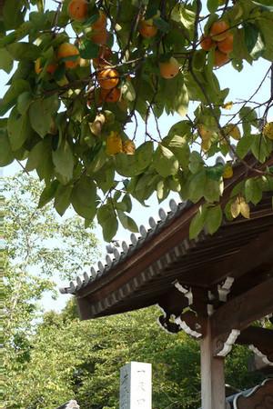 妙法寺の柿 01