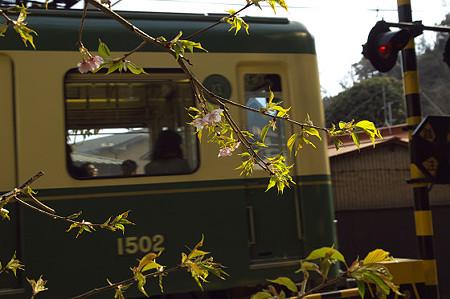 江ノ電と河津桜