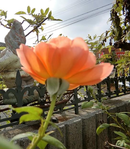 薔薇~♪~