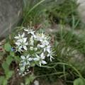 Photos: 花ニラです♪