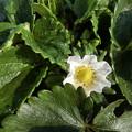 Photos: イチゴの~花♪