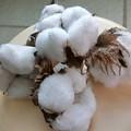 Photos: これは~^0^♪綿の実♪