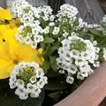 Photos: しゅやくになれない花♪