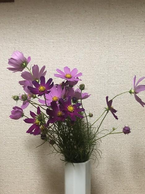 2019.10.14 コスモス
