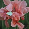 モンシロ蝶とピンクのお花(ベトナム)