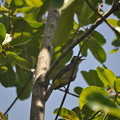 ヒヨドリっぽい鳥(カンボジア)