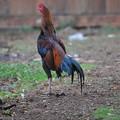写真: カラフルな鶏